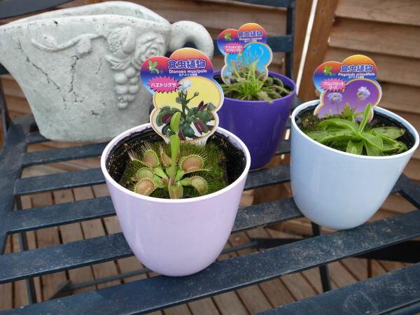 食虫植物3種類セット 食虫植物【食虫植物セット】