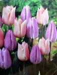 チューリップ早割♪そろい咲きチューリップデュオ・アプリコットビューティー&キャンディープリンス10球セット【チューリップ】【球根】
