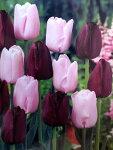 チューリップ早割♪そろい咲きチューリップデュオ・ピンクダイヤモンド&クインオブナイト10球セット【チューリップ】【球根】