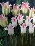 チューリップ早割♪そろい咲きチューリップデュオ・フロローサ&ホーランドチック10球セット【チューリップ】【球根】