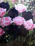 チューリップ早割♪そろい咲きチューリップデュオ・アンジェリケ&ブラックヒーロー10球セット【チューリップ】【球根】
