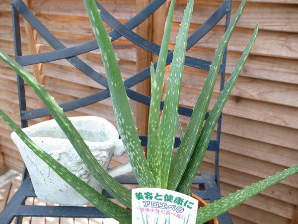 アロエベラ 4号鉢植え 観葉植物 アロエ 鉢植え アロエ ベラ 苦味が少なく生食用に人気の観葉植物