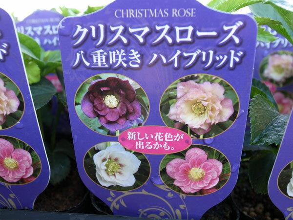 ダブル交配苗です♪クリスマスローズ八重咲きハイブリッド【花苗】【クリスマスローズダブル】【Christmas rose】【くりすますろーず】販売/通販/種類