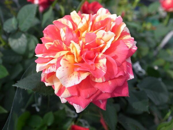 バラ ホーカスポーカス5号鉢植え♪カラフルな花色が魅力でボリューム満点。ギフトにも最適です/バラ/鉢植え/鉢花/花ギフト/プレゼント/誕生日