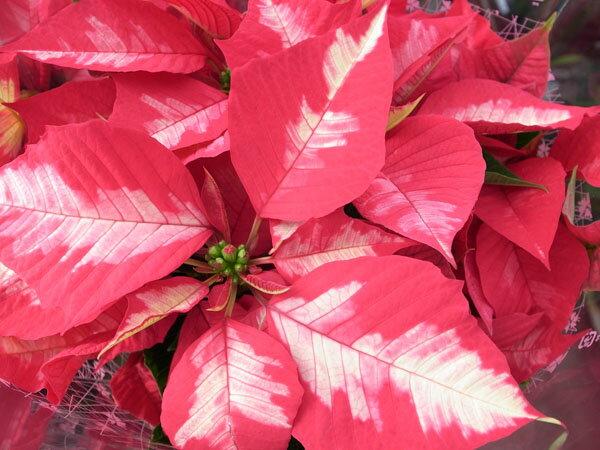 ポインセチア・アイスパンチ5号鉢植え♪真っ赤な葉に白い斑が入る珍しい品種【鉢花】