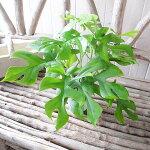 ミニモンステラ4号鉢植え切れ込みのあるグリーンの葉が魅力♪テーブルサイズの観葉植物販売通販種類