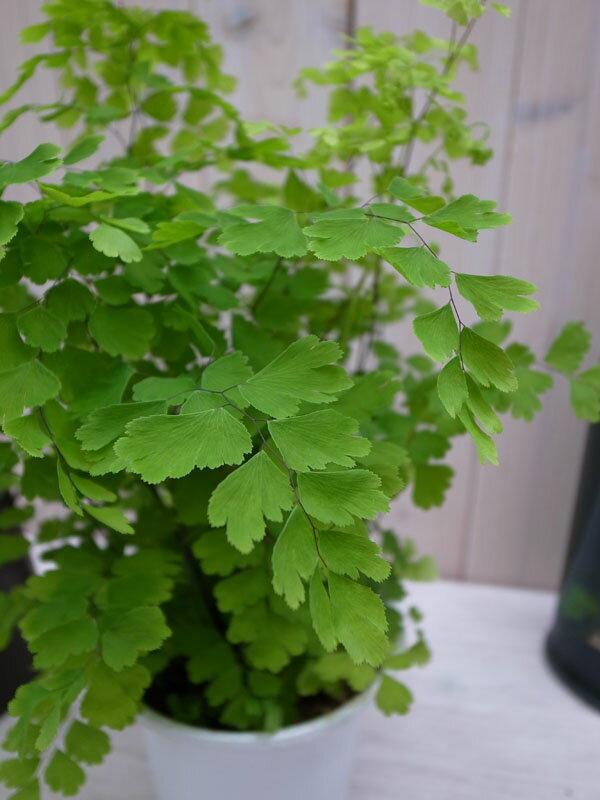 アジアンタム フラグランス4号 鉢植え アジアンタム 浴室のインテリアにアジアンタム