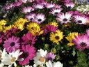 オステオスペルマム3株セット 花苗 華やかな花色が魅力 春花壇コンテナガーデンに最適 多年草 花芽付 販売 通販 種類