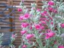 ピティロディア フェアリーピンク 花苗 ワンランク上の寄せ植えにシルバーリーフにピンクの花 寄せ植えの芯に最適 販…