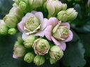 カランコエ ローズフラワーピンクパリ4号サイズ 鉢植え カランコエ 八重咲きが魅のカランコエ 鉢花