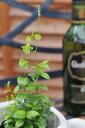 アスパラガス スマイラックス苗 観葉植物 販売 通販 種類 優しい緑の葉が魅力的 リーフプランツ 販売 通販 種類