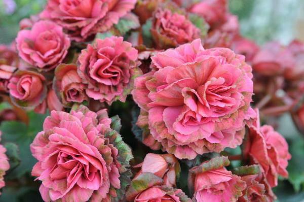 エラチオールベコニア アールヌーヴォー4.5号鉢植え 鉢花 花ギフト 多年草 プレゼント 販売 通販 種類