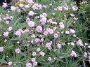 八重咲き カスミソウ フラワー ピンク色