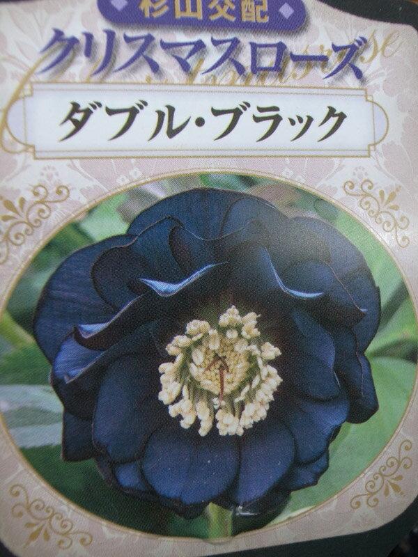 杉山交配 クリスマスローズ ダブル ブラック【花苗】【クリスマスローズダブル】【Christmas rose】【Double】【Black】販売 通販 種類