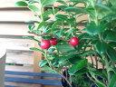 花芽付リンゴンベリー 赤い実 ジャムやジュースに最適 ビタミンEが多く含まれビタミンCは天然ベリーの中で最も少ない 販売 通販 種類 リンゴンベリー苗 リンゴン...