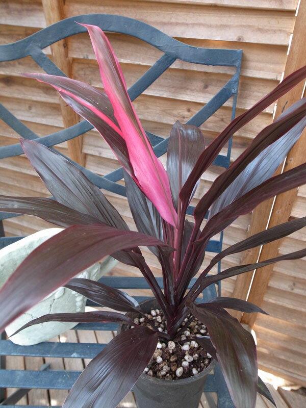コルジリネTアイチアカ 4号サイズ 鉢植え 観葉植物 コルディリネ リュウゼツラン科 販売 通販 種類