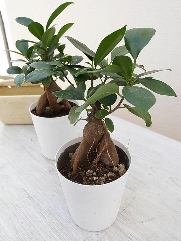 ニンジンガジュマル 3.5号サイズ 鉢植え 観葉植物 販売 通販 種類