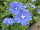 【ポイント2倍】アメリカンブルー 苗 ブルーの花が咲くアメリカンブルー 【アメリカンブルー苗】【花苗】