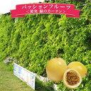 【ポイント10倍】黄実のパッションフルーツ 大株 緑のカーテン グリーンカーテン 節電対策に 販売 通販 種類