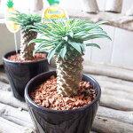 ユーフォルビアパイナップルコーン3.5号サイズ鉢植え別名で蘇鉄キリン販売通販種類