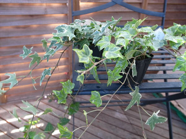 ロングアイビー苗2種類セット ツルが30センチ程伸びたボリュームあるアイビー 販売 通販 種類