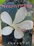 ワイルドハイビスカスインマクラツス素朴な花が魅力花苗販売通販種類