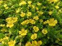 メカルドニア 枝垂れるように咲く黄色の小花 販売 通販 種類 ギフト 小花 花苗