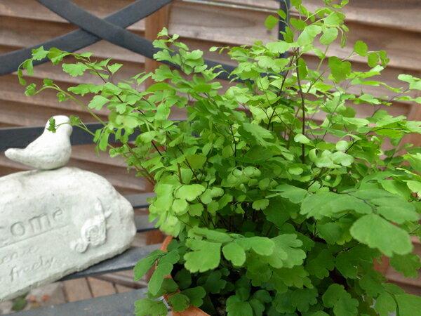 アジアンタム フリッツルーシー 4号サイズ 鉢植え
