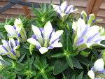 リンドウ心美白寿5号サイズ鉢植え25cm複色咲きの花多年草販売通販種類