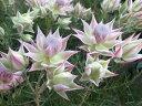 セルリア プリティーインピンク5号サイズ 鉢植え/高さ50cm/切り花にもなる魅惑の花/販売/通販/種類