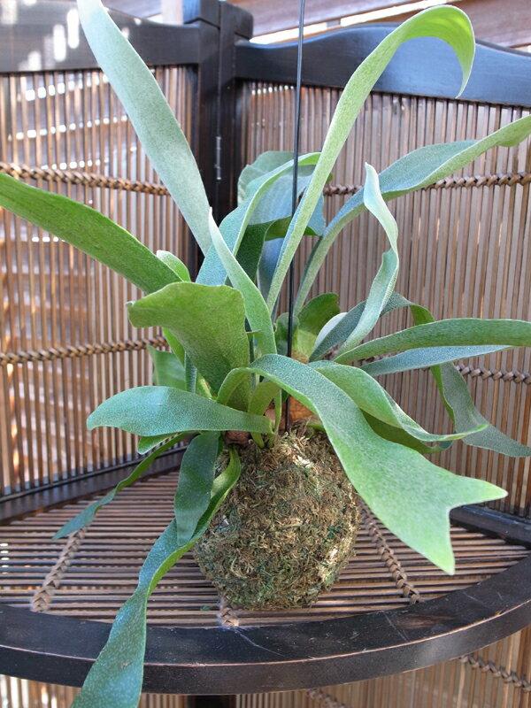 コウモリラン コケダマ 苔玉 和名はビカクシダ 苔玉 シルバーブルーの葉 苔玉部分は直径10cm程、葉は広がると30cm程 和名はビカクシダ