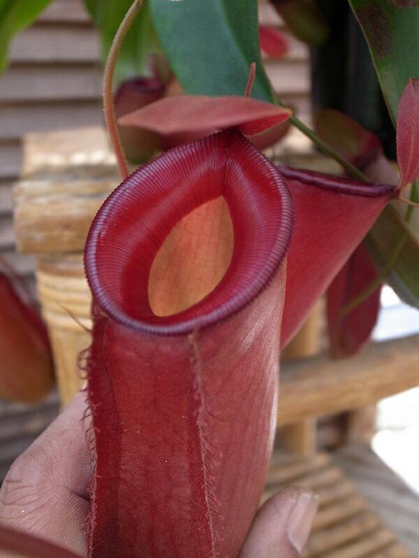 ネペンテス レディーラック 5号サイズ 食虫植物 ネペンテス Nepenthes