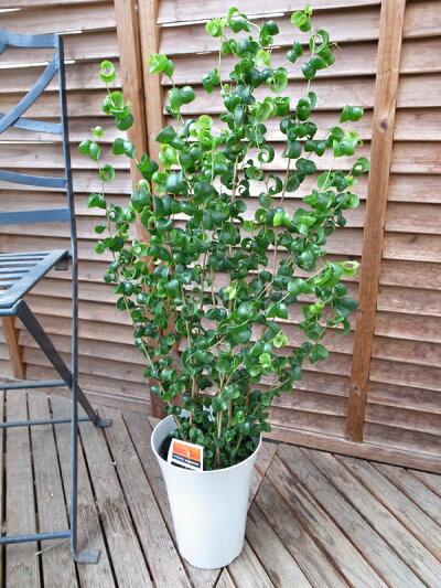 ベンジャミンバロック6号サイズ鉢植えベンジャミン高さ80cm観葉植物送料無料ベンジャミン観葉植物ベンジャミン室内インテリア用観葉植物スタイリッシュな鉢植え
