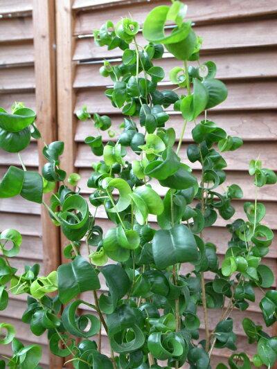 ベンジャミンバロック6号サイズ鉢植えベンジャミン高さ60cm観葉植物送料無料ベンジャミン観葉植物ベンジャミン室内インテリア用観葉植物スタイリッシュな鉢植えグリーン