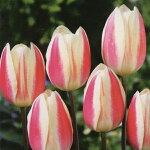 チューリップ球根富山の清流チューリップAシルクサプライズ5球【チューリップ】【球根】【Tulip】販売通販種類【ちゅーりっぷ】