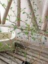 ソフォラミクロフィラ リトルベイビー 苗 屈曲した枝につく小さな葉が可愛らしいメルヘンチックな植物 メルヘンの木 …