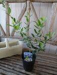 オリーブネバディロブランコ大苗シンボルツリー観葉植物販売通販種類高さ40cm