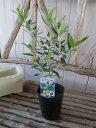 オリーブ ルッカ 大苗 シンボルツリー 観葉植物 販売 通販 種類 高さ40cm
