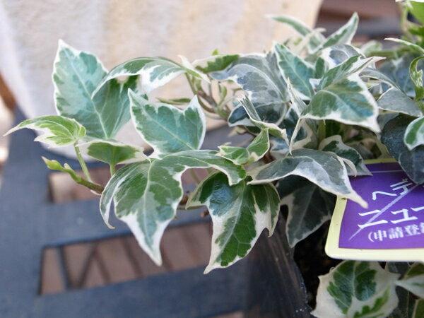 【ポイント10倍】アイビー ニューミニシルバー 苗 販売 通販 種類 別名 ヘデラ ミニシルバーティカ 斑入りの小葉が可愛らしいアイビー