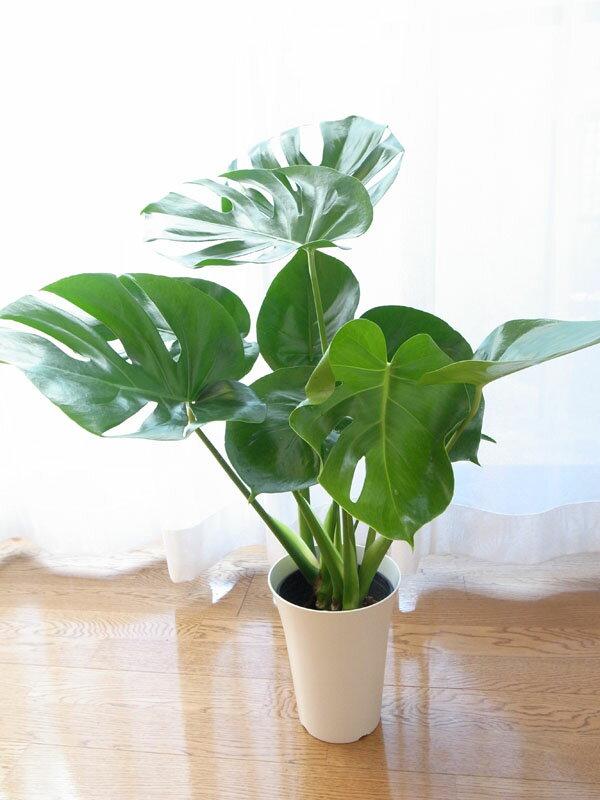モンステラ 6号サイズ スタイリッシュ鉢60センチ 艶やかなグリーンに切れ込みのある葉が特徴のモンステラ 観葉植物 新築祝などに人気なグリーン 室内観葉