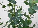 ユーカリ グニー 5.5号サイズ 丸葉 観葉植物 高さ60cmセンチ