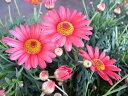 マーガレット モリンバ ヘリオ ウオーターメロン3.5号苗 ピンク 花芽付 ガーデン 植物 販売