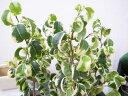 フィカス B バロック 斑入り3号ポット苗 希少種!ベンジャミン バロック 観葉植物
