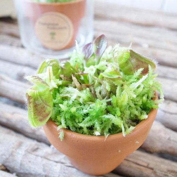 食虫植物 セファロタス フォリキュラリス レア食虫植物 3号 ポット苗 プラントBOX付 フクロユキノシタ