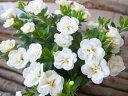 カリブラコア ティフォシー ダブル ホワイト 3.5号苗 花芽付 植物 販売 ガーデン ガーデニング