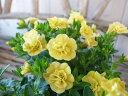 カリブラコア ティフォシー ダブル イエロー 3.5号苗 花芽付 植物 販売 ガーデン ガーデニング