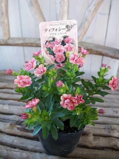 カリブラコアティフォシーダブルピーチイエロー3.5号苗花芽付植物販売ガーデンガーデニング【ラッキーシール対応】