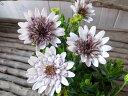 オステオスペルマム ダブルファン ホワイト 3.5号ポット苗 花芽付 花壇 コンテナ ハンギング 白花