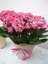 母の日ギフト あじさい 紫陽花 ハイグレード アジサイ 華あられ 5号 ラッピング付!送料無料 鉢植え