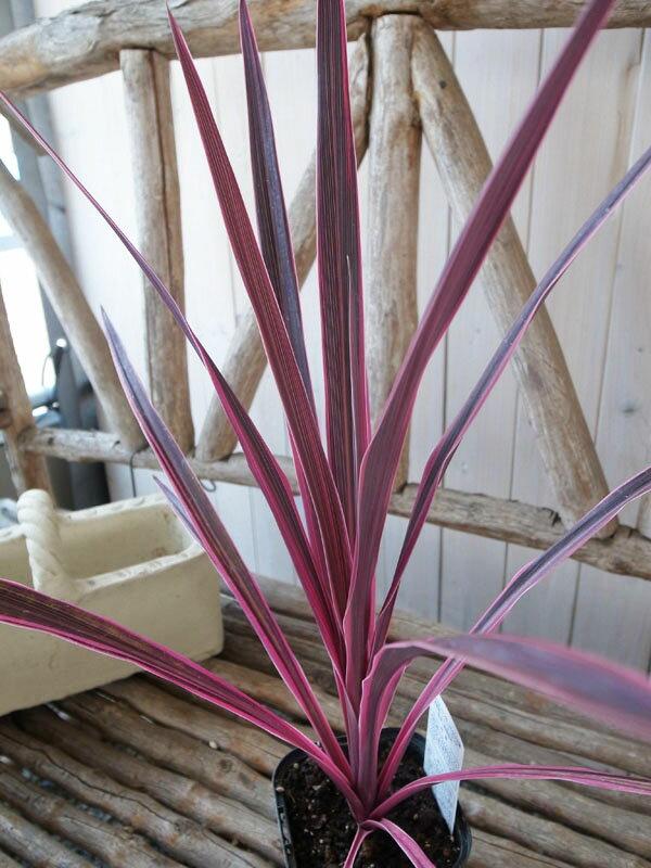 希少種コルジリネ ピンクパッション苗 カラフルな斑入り葉が魅力 センネンボク 高さ40cmセンチ 観葉植物